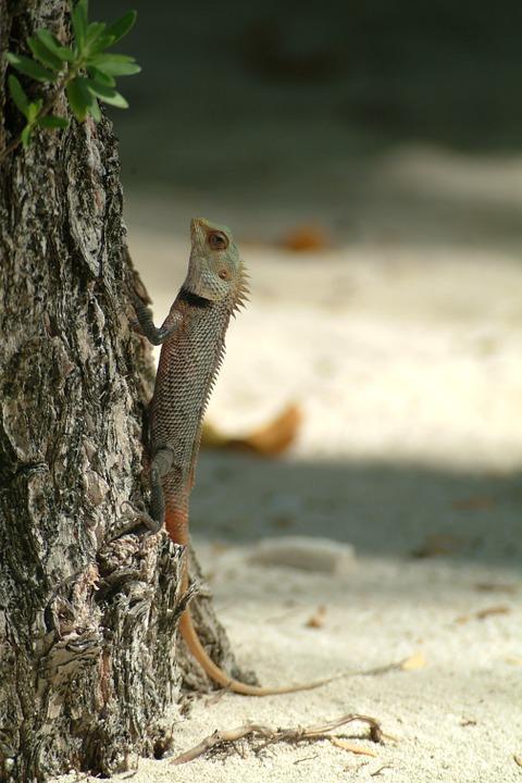 lizard-231147_960_720